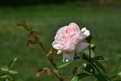 ดอกกุหลาบก็จะตายหมดอยู่แล้ว น่าเศร้าจริงๆ ฮือ